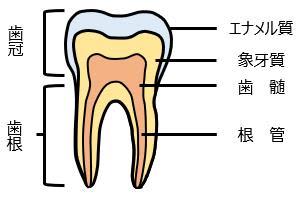 <日本歯内療法学会 ニュースレターvol.3>歯の神経を再生させる「再生歯内療法」とは?
